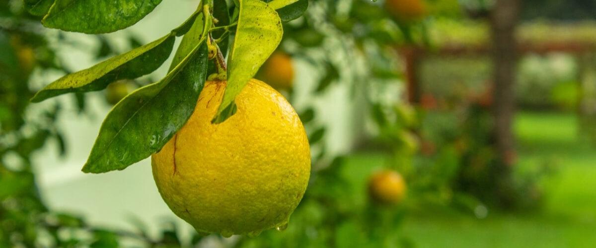 MAFIA – THE SUPERHEROES OF LEMON GROWERS & THE BOOM-BUST CYCLE